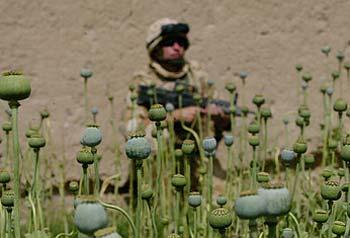 afghan_opium7ui.jpg